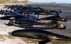O encalhe trágico de mais de 600 baleias em praia da Nova Zelândia