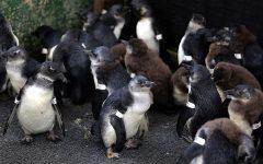 Mudanças climáticas ameaçam sobrevivencia do pinguim africano, alerta estudo